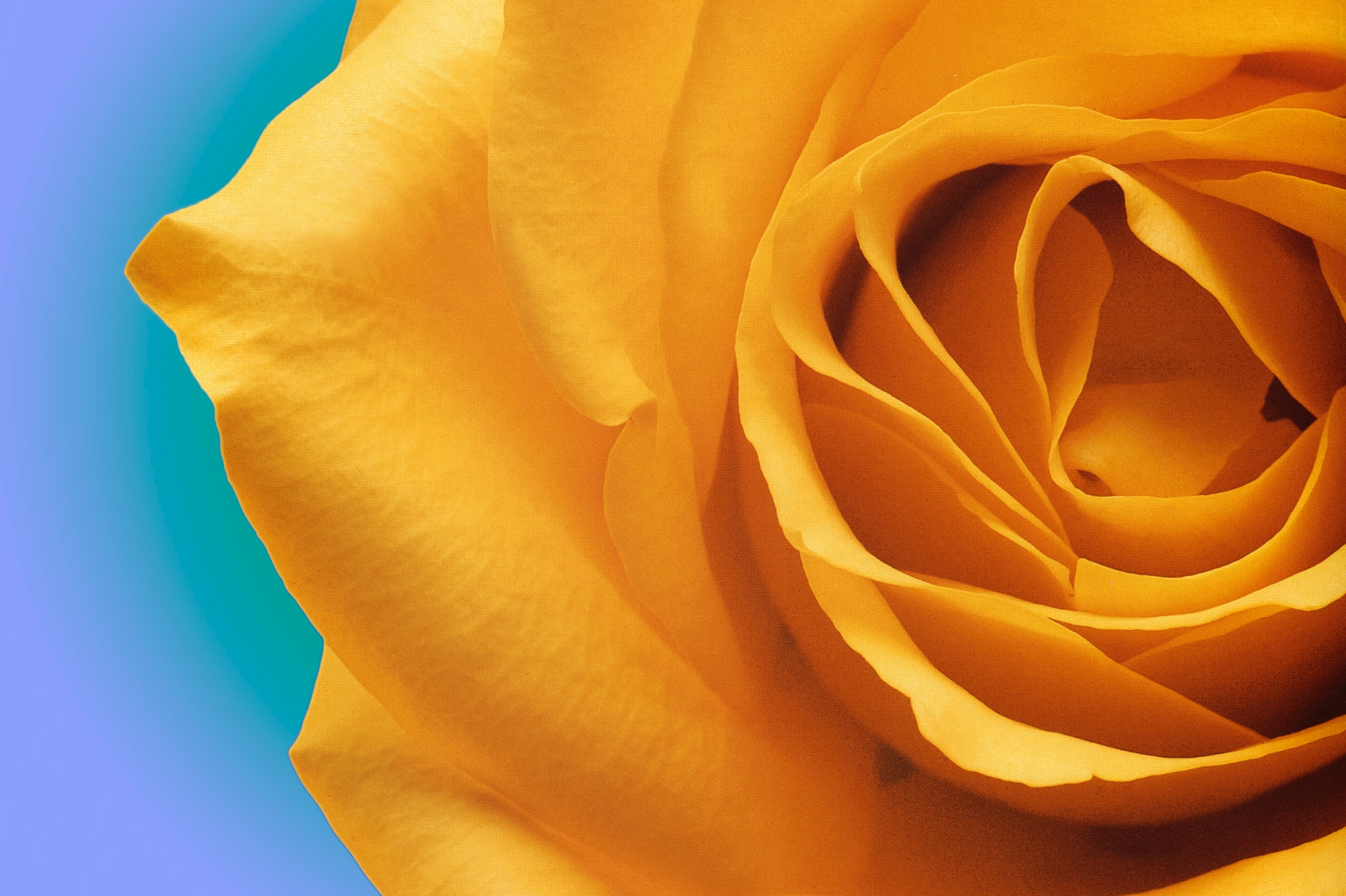 Women's Suffrage Yellow Rose