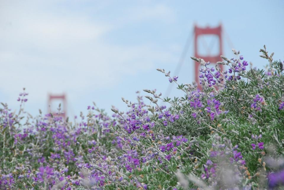 golden gate bridge surrounded by hummingbird sage