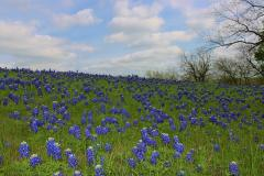 TX Bluebonnets field