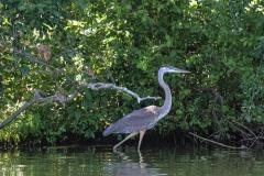 photo of heron at DE State Park at Trap Pond