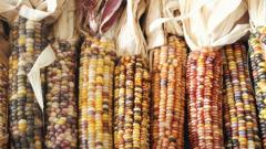 dried Indian corn cobs