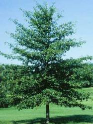 Black Gum Tupelo Tree