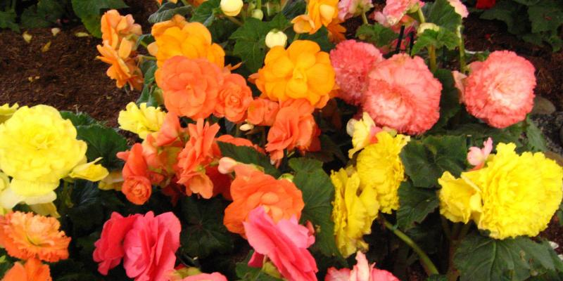 Begonias from 2016 Santa Cruz County Fair