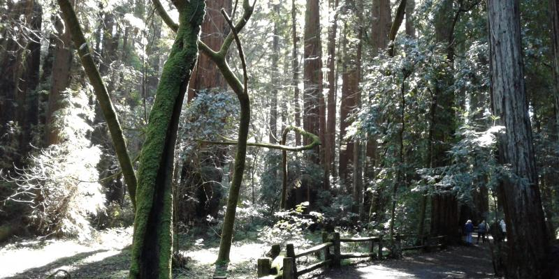 On the loop trail at Henry Cowell Redwoods State Park
